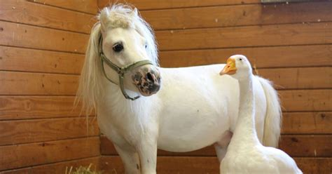horse goose rescued mini thedodo adopted inseparable together