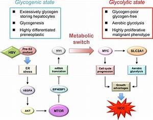 Schematic Model For The Upregulation Of Aerobic Glycolysis
