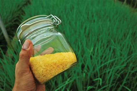 rice golden arroz agri vitamin gmo jar radicalism separates reason communication tech produccion rendimiento alto asia tempers enriched flare biotech