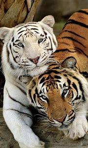 Wildlife🍃 aesthetic | Tiger pictures, Animals wild ...