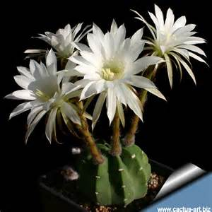 blooming cereus echinopsis subdenudata e subdenudatus