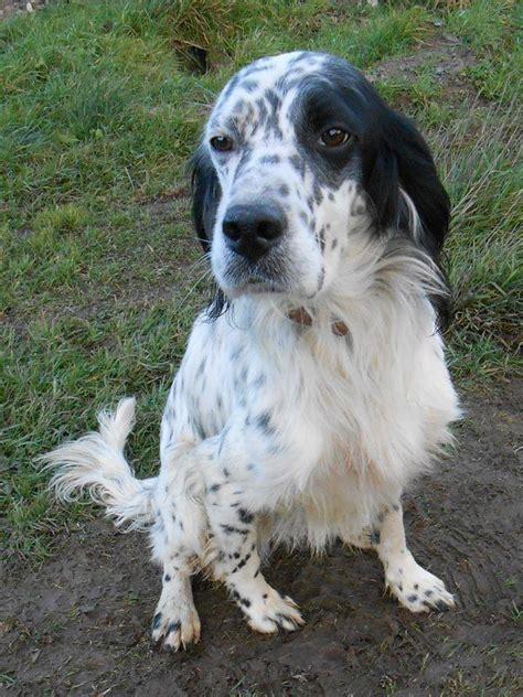 white setter shedding breed setter breed photos