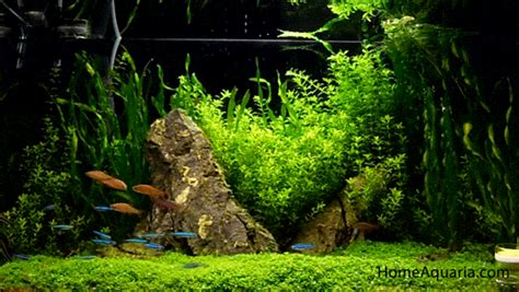 5 most popular tetra fish types home aquaria