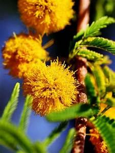 Mesquite Blossoms
