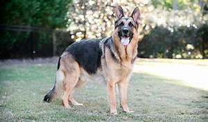 German Shepherd Dog Breed Information
