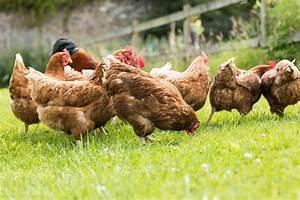 Hühner Im Garten : h hner halten der eigene stall im garten garten news garten ~ Markanthonyermac.com Haus und Dekorationen