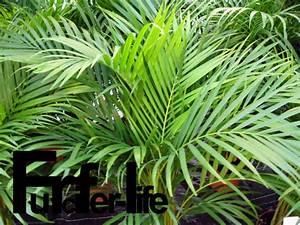 Palmen Für Draußen : furcifer life madagaskar pflanzen arten ~ Michelbontemps.com Haus und Dekorationen