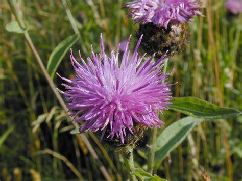 image  purple thistle growing   meadow