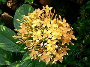 Ixora coccinea - Ixora yellow
