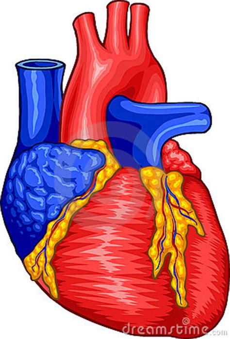 human heart royalty  stock  image