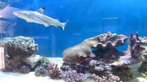 black tip shark in 3 mtr size aquarium