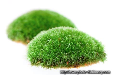 Images Of Moss Moss Photo Picture Definition At Photo Dictionary Moss