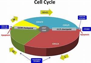 The Cell Cycle In Cancer