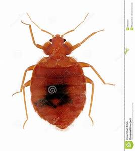 common bed bug stock image image 18502931 With common bed bugs