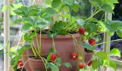 vous pouvez faire pousser des fraises bio toute l 233 e 224 l int 233 rieur