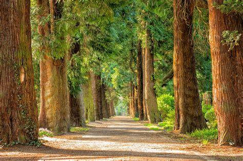 Light Wood Wallpaper Hd Avenue Trees Away Free Photo On Pixabay