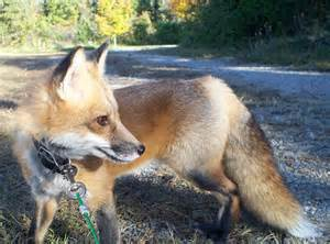 Pet Red Foxes