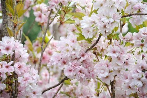 prunus flowering cherry prunus amanogawa japanese flowering cherry
