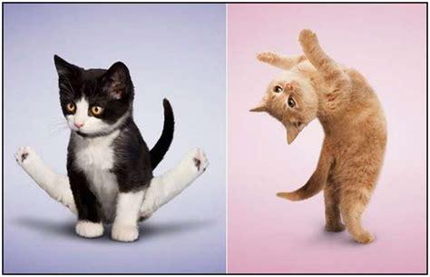 yoga  gatos imagenes divertidas de posturas de gatos