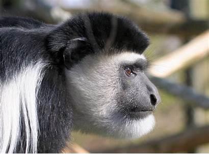 Monkey Colobus Roundhill August