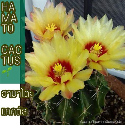 🌼🌱ฮามาโตะ แคคตัส HAMATO CACTUS ไซร์ออกดอก ขนาด 3-4 cm ต้นเขียวน่ารัก สีดอกสีเหลืองสด ติดฝักง่าย ...