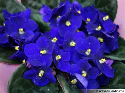 pour cuisiner violette du cap saintpaulia conseils de culture