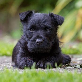 scottish terrier breeds dogzonecom