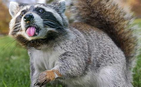 best 28 squirrel and raccoon top 28 squirrel and