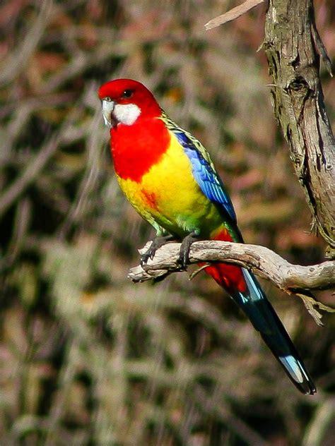 About - Beautiful Australian Birds