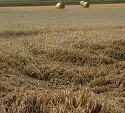grunderwerbsteuer mecklenburg vorpommern 2017 ernte 2017 schlechte getreidequalit 228 t in mecklenburg vorpommern proplanta de