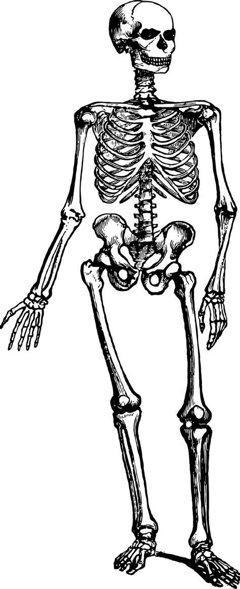 skeleton clipart human skeleton free stock photo domain pictures
