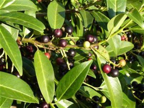 kirschlorbeer im herbst pflanzen kirschlorbeer pflanzen lorbeerkirsche prunus laurocerasus