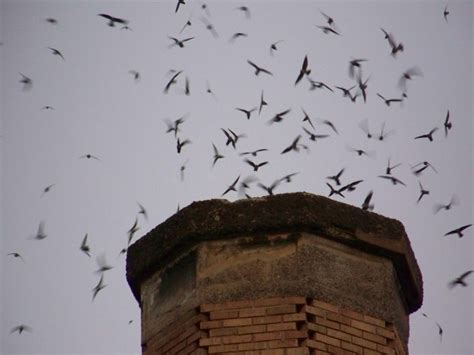 Bird In Chimney? Could Be Migrating Chimney Swifts