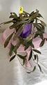 Hoya sigillatis #2 planta exacta – Eurotropicalplants