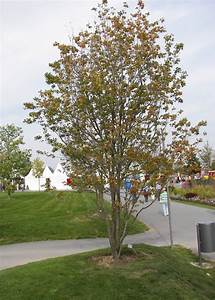 Dekorative Bäume Für Kleine Gärten : acer rubrum rot ahorn laubbaum ~ Markanthonyermac.com Haus und Dekorationen