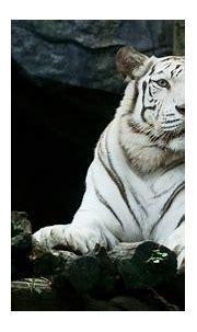 1920x1080 Big White Tiger Hd Laptop Full HD 1080P HD 4k ...