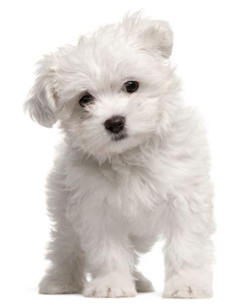 Top 10 Kleine Hondenrassen (Foto & Beschrijving