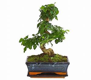 Bonsai Pflege Für Anfänger : bonsai chinesischer liguster 10 jahre dehner garten center ~ Frokenaadalensverden.com Haus und Dekorationen
