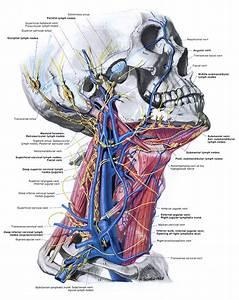 Atlas Of Head And Neck Anatomy