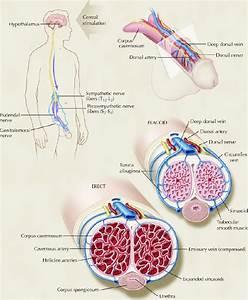 Нарушение эрекции у мужчин, лечение эректильной дисфункции