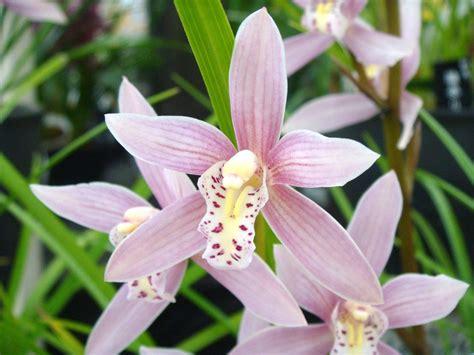 Orchid Nurseries by Cymbidium Nagalex