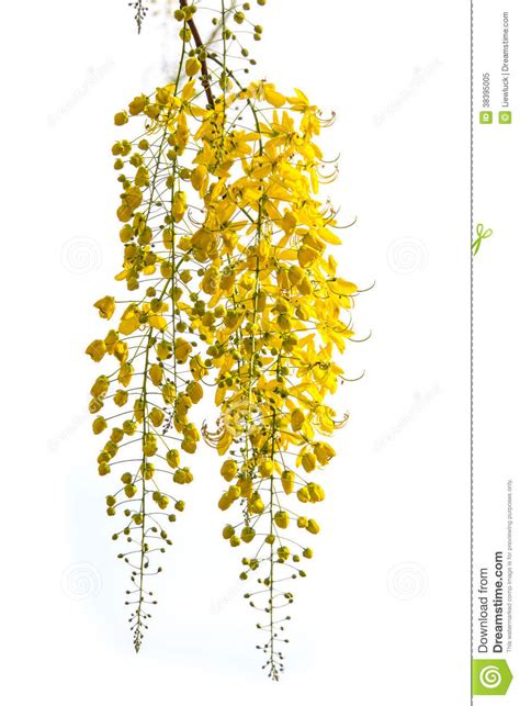 golden shower flower stock image image  summer design