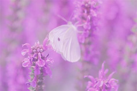 butterfly dreams pink poppy photography