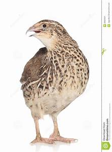 Quail On A White Background Stock Image - Image of brown ...