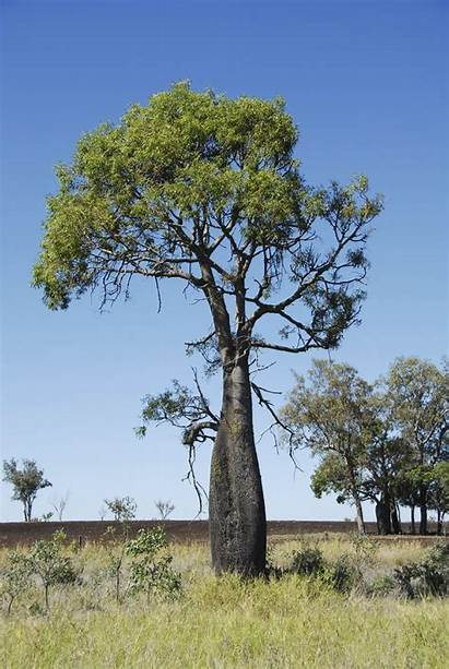 Kurrajong Tree Bottle Trees Australian Care Brachychiton