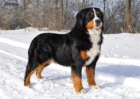 dog bernese mountain dog images male models picture