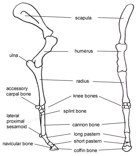 equine forelimb anatomy plays   conformation