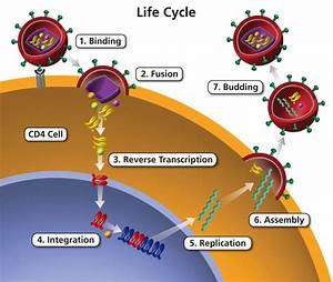 Life Cycle Of Hiv  U2013 Finding A Cure For Hiv  Aids