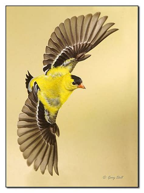 american goldfinch  flight flickr photo sharing