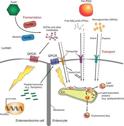 interplay  intestinal bacteria  host metabolism  health  disease lessons